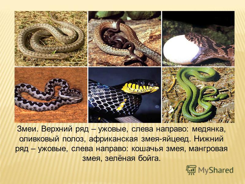 Змеи. Верхний ряд – ужовые, слева направо: медянка, оливковый полоз, африканская змея-яйцеед. Нижний ряд – ужовые, слева направо: кошачья змея, мангровая змея, зелёная бойга.