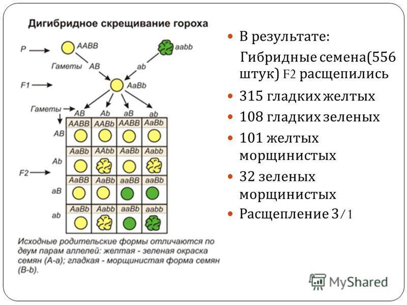 В результате : Гибридные семена (556 штук ) F2 расщепились 315 гладких желтых 108 гладких зеленых 101 желтых морщинистых 32 зеленых морщинистых Расщепление 3/1