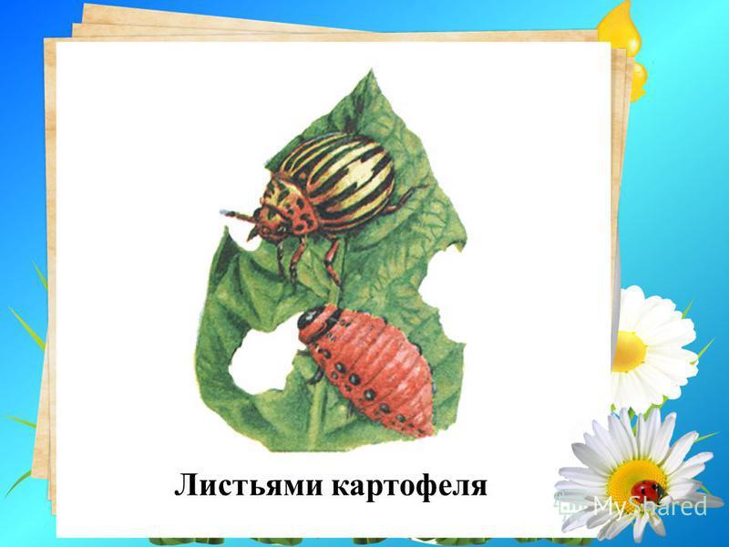 7. Чем питается колорадский жук? Листьями картофеля