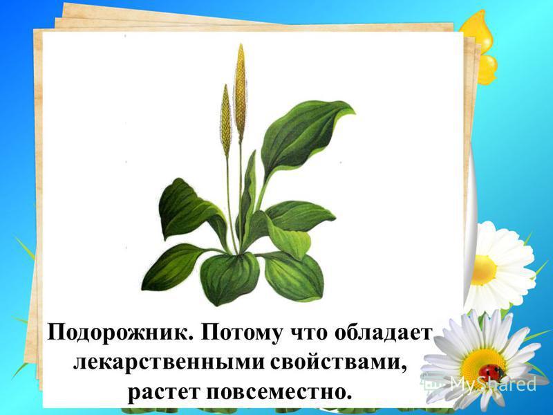 11. Какое растение называют лучшим другом туриста? Почему? Подорожник. Потому что обладает лекарственными свойствами, растет повсеместно.