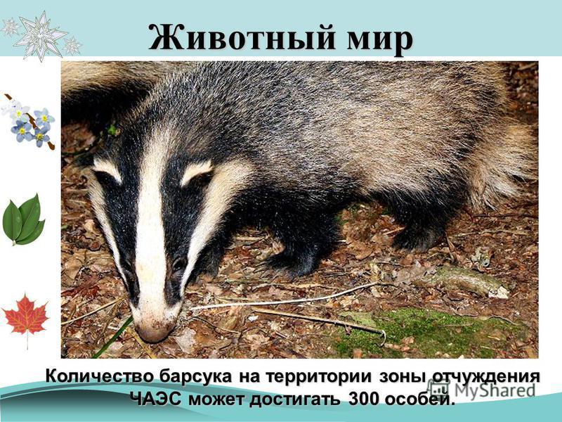 Животный мир Европейский барсук Количество барсука на территории зоны отчуждения ЧАЭС может достигать 300 особей.