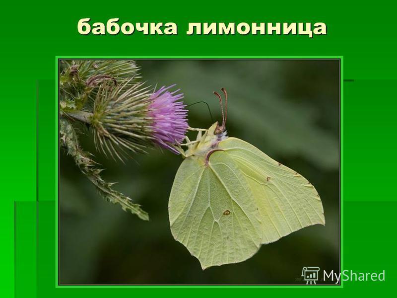 бабочка лимонница