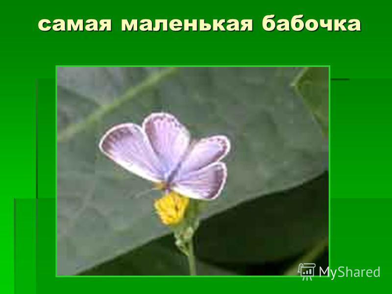 самая маленькая бабочка
