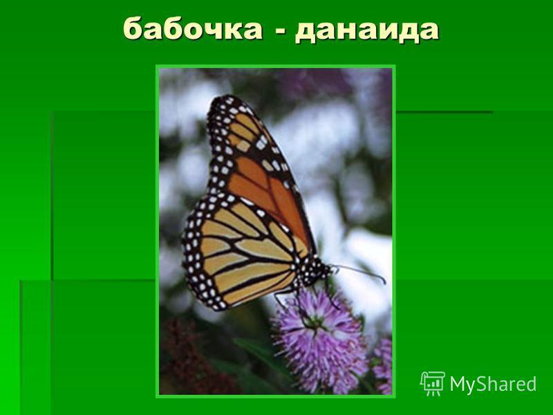 бабочка - данаида
