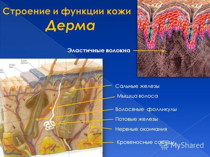 Эластичные волокна Кровеносные сосуды Потовые железы Сальные железы Волосяные фолликулы Нервные окончания Мышца волоса