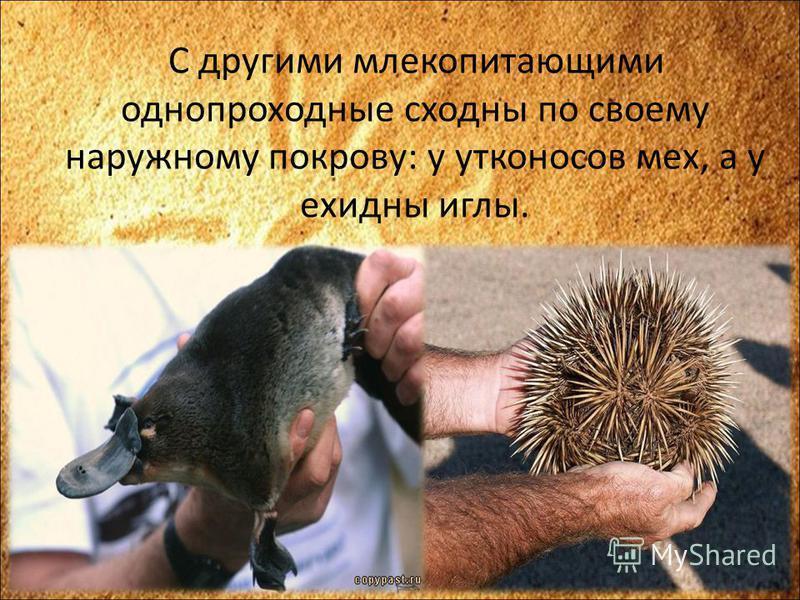 С другими млекопитающими однопроходные сходны по своему наружному покрову: у утконосов мех, а у ехидны иглы.