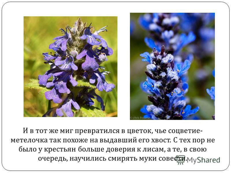 И в тот же миг превратился в цветок, чье соцветие- метелочка так похоже на выдавший его хвост. С тех пор не было у крестьян больше доверия к лисам, а те, в свою очередь, научились смирять муки совести.