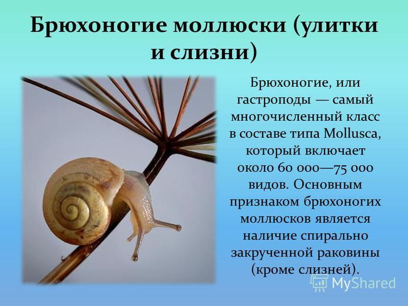 Брюхоногие моллюски (улитки и слизни) Брюхоногие, или гастроподы самый многочисленный класс в составе типа Mollusca, который включает около 60 00075 000 видов. Основным признаком брюхоногих моллюсков является наличие спирально закрученной раковины (к
