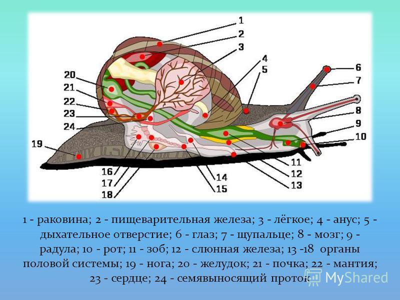 1 - раковина; 2 - пищеварительная железа; 3 - лёгкое; 4 - анус; 5 - дыхательное отверстие; 6 - глаз; 7 - щупальце; 8 - мозг; 9 - радула; 10 - рот; 11 - зоб; 12 - слюнная железа; 13 -18 органы половой системы; 19 - нога; 20 - желудок; 21 - почка; 22 -