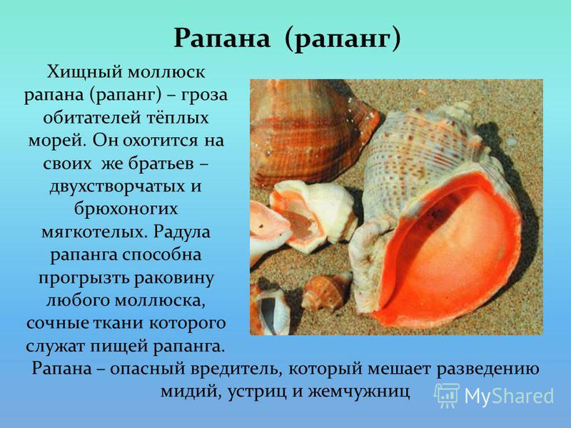 Рапана (рапанг) Хищный моллюск рапана (рапанг) – гроза обитателей тёплых морей. Он охотится на своих же братьев – двухстворчатых и брюхоногих мягкотелых. Радула рапанга способна прогрызть раковину любого моллюска, сочные ткани которого служат пищей р