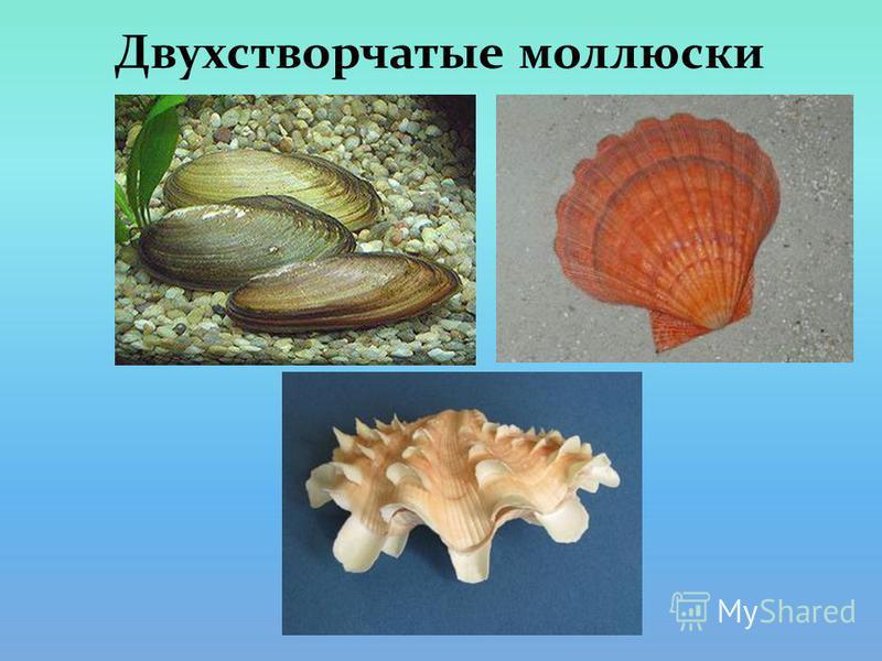 Двухстворчатые моллюски