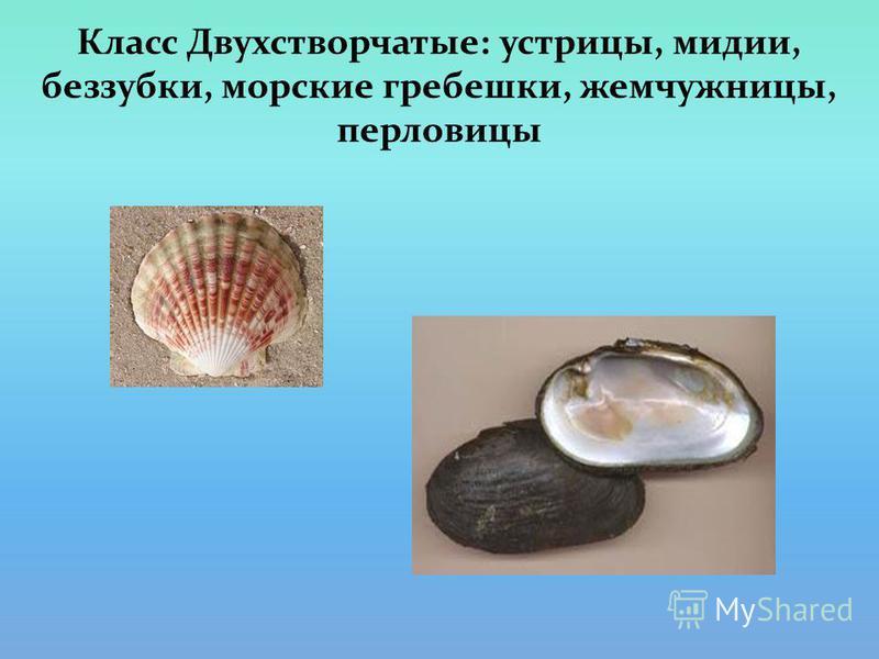Класс Двухстворчатые: устрицы, мидии, беззубки, морские гребешки, жемчужницы, перловицы