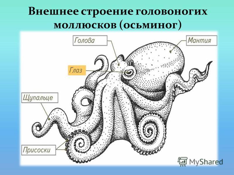 Внешнее строение головоногих моллюсков (осьминог)