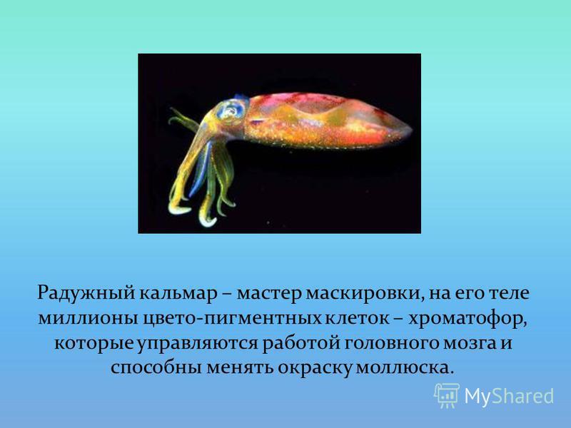 Радужный кальмар – мастер маскировки, на его теле миллионы цвето-пигментных клеток – хроматофор, которые управляются работой головного мозга и способны менять окраску моллюска.