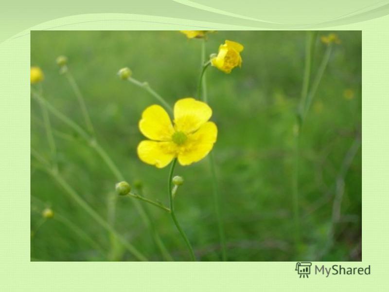 Пройди по зелёному лугу, увидишь ты скромный цветок, Будь осторожен: он ядовит и очень жесток.