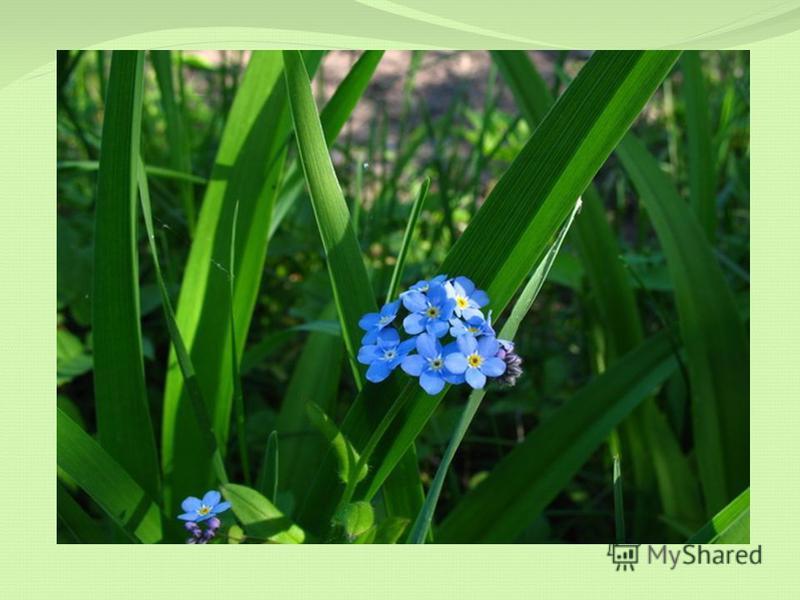 Если я отправлюсь в путь, Он посмотрит на меня И шепнёт: «Не забудь про родимые края!» Голубой цветочек хрупкий, Он зовётся ……...