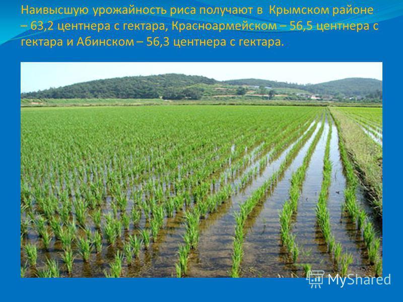 Наивысшую урожайность риса получают в Крымском районе – 63,2 центнера с гектара, Красноармейском – 56,5 центнера с гектара и Абинском – 56,3 центнера с гектара.