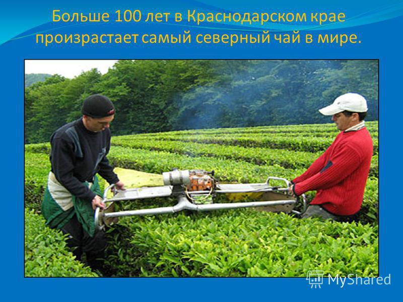 Больше 100 лет в Краснодарском крае произрастает самый северный чай в мире.