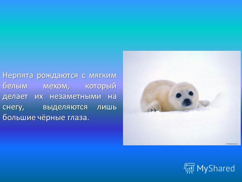 Нерпята рождаются с мягким белым мехом, который делает их незаметными на снегу, выделяются лишь большие чёрные глаза.