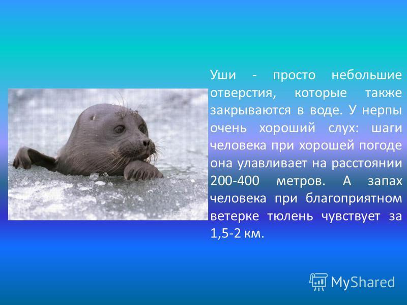Уши - просто небольшие отверстия, которые также закрываются в воде. У нерпы очень хороший слух: шаги человека при хорошей погоде она улавливает на расстоянии 200-400 метров. А запах человека при благоприятном ветерке тюлень чувствует за 1,5-2 км.