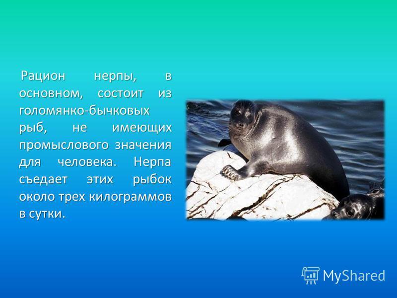Рацион нерпы, в основном, состоит из голомянка-бычковых рыб, не имеющих промыслового значения для человека. Нерпа съедает этих рыбок около трех килограммов в сутки. Рацион нерпы, в основном, состоит из голомянка-бычковых рыб, не имеющих промыслового