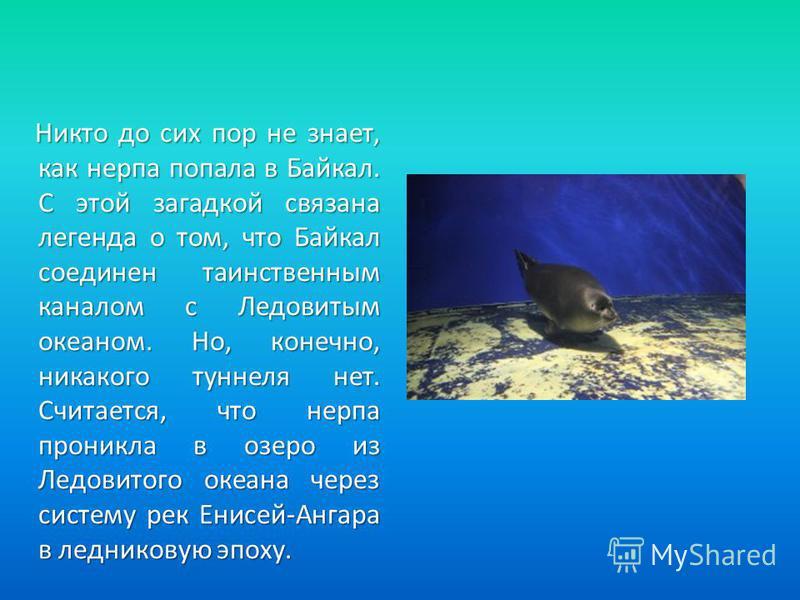 Никто до сих пор не знает, как нерпа попала в Байкал. С этой загадкой связана легенда о том, что Байкал соединен таинственным каналом с Ледовитым океаном. Но, конечно, никакого туннеля нет. Считается, что нерпа проникла в озеро из Ледовитого океана ч
