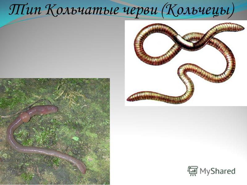 Тип Кольчатые черви (Кольчецы)