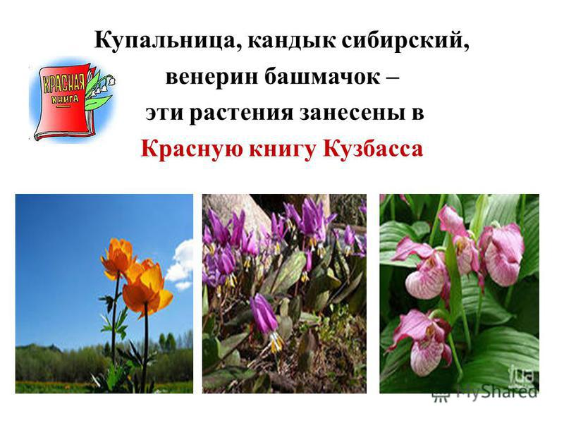 Купальница, кандык сибирский, венерин башмачок – эти растения занесены в Красную книгу Кузбасса