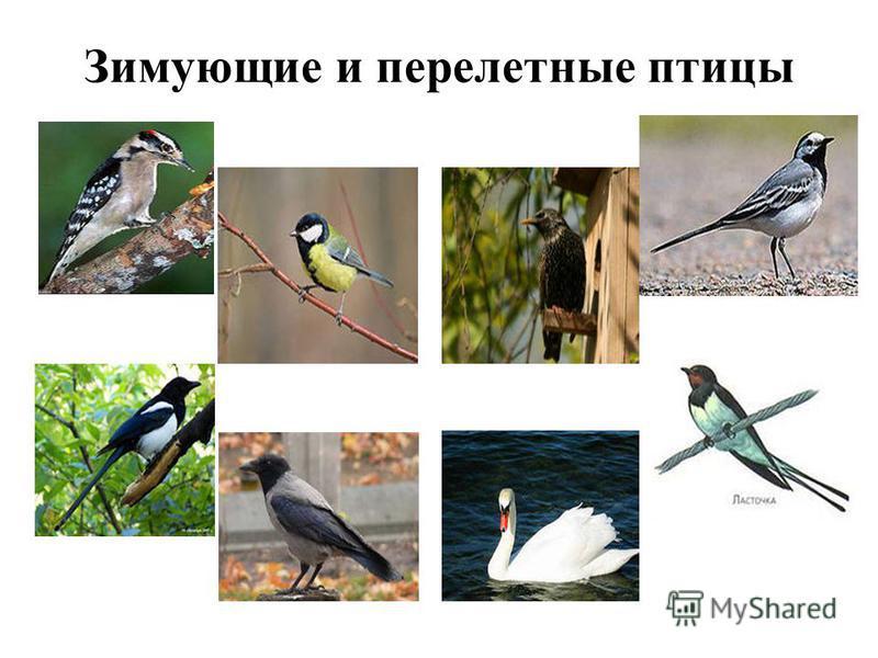 Зимующие и перелетные птицы