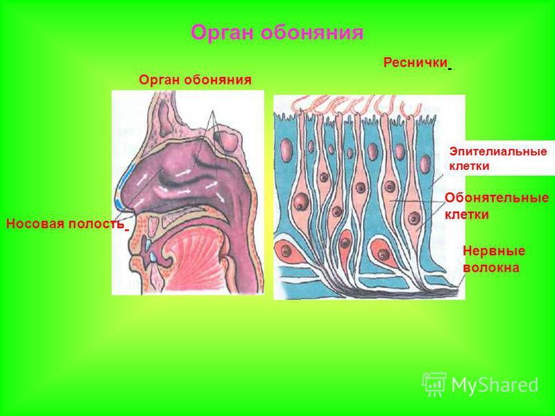 Орган обоняния Носовая полость Реснички Обонятельные клетки Эпителиальные клетки Нервные волокна Орган обоняния
