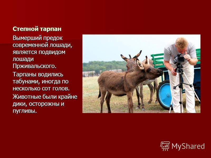 Степной тарпан Вымерший предок современной лошади, является подвидом лошади Прживальского. Тарпаны водились табунами, иногда по несколько сот голов. Животные были крайне дики, осторожны и пугливы.