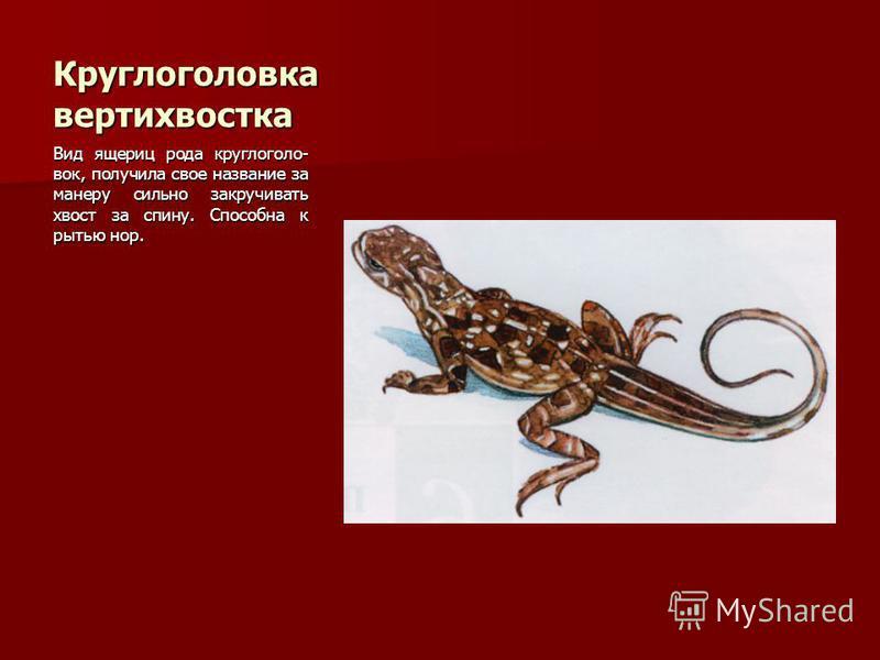 Круглоголовка вертихвостка Вид ящериц рода кругло головок, получила свое название за манеру сильно закручивать хвост за спину. Способна к рытью нор.