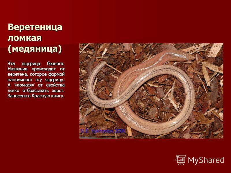Веретеница ломкая (медяница) Эта ящерица безнога. Название происходит от веретена, которое формой напоминает эту ящерицу. А «ломкая» от свойства легко отбрасывать хвост. Занесена в Красную книгу.