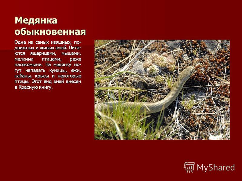 Медянка обыкновенная Одна из самых изящных, подвижных и живых змей. Пита- ются ящерицами, мышами, мелкими птицами, реже насекомыми. На медянку мо- гут нападать куницы, ежи, кабаны, крысы и некоторые птицы. Этот вид змей внесен в Красную книгу.
