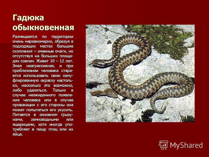 Гадюка обыкновенная Размещается по территории очень неравномерно, образуя в подходящих местах большие скопления – змеиные очаги, но отсутствуя на больших площадях совсем. Живет 10 – 12 лет. Змея неагрессивная, и при приближении человека старается исп