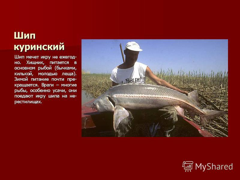 Шип куринский Шип мечет икру не ежегодно. Хищник, питается в основном рыбой (бычками, килькой, молодью леща). Зимой питание почти прекращается. Враги – многие рыбы, особенно усачи, они поедают икру шипа на нерестилища х.