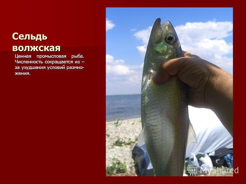 Сельдь волжская Ценная промысловая рыба. Численность сокращается из – за ухудшения условий размножения.