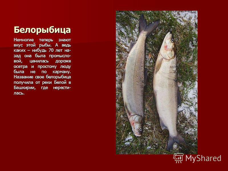 Белорыбица Немногие теперь знают вкус этой рыбы. А ведь каких – нибудь 70 лет на- зад она была промысло- вой, ценилась дороже осетра и простому люду была не по карману. Название свое белорыбица получила от реки Белой в Башкирии, где нерести- лась.