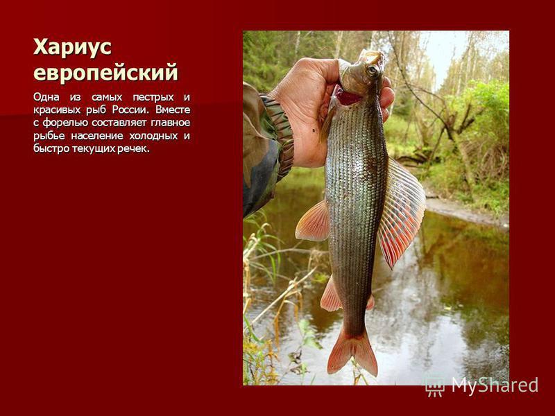 Хариус европейский Одна из самых пестрых и красивых рыб России. Вместе с форелью составляет главное рыбье население холодных и быстро текущих речек.