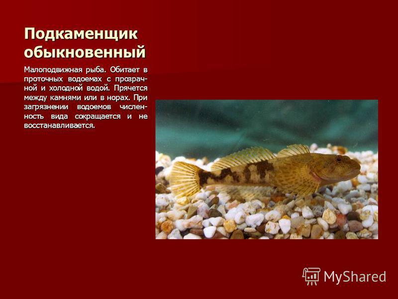 Подкаменщик обыкновенный Малоподвижная рыба. Обитает в проточных водоемах с прозрач- ной и холодной водой. Прячется между камнями или в норах. При загрязнении водоемов числен- ность вида сокращается и не восстанавливается.