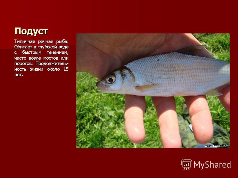 Подуст Типичная речная рыба. Обитает в глубокой воде с быстрым течением, часто возле мостов или порогов. Продолжитель- ность жизни около 15 лет.