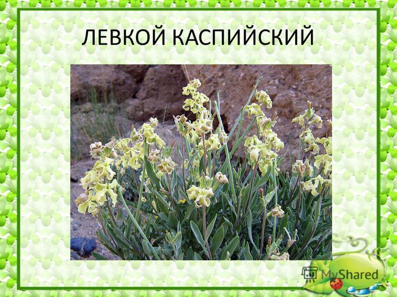 ЛЕВКОЙ КАСПИЙСКИЙ