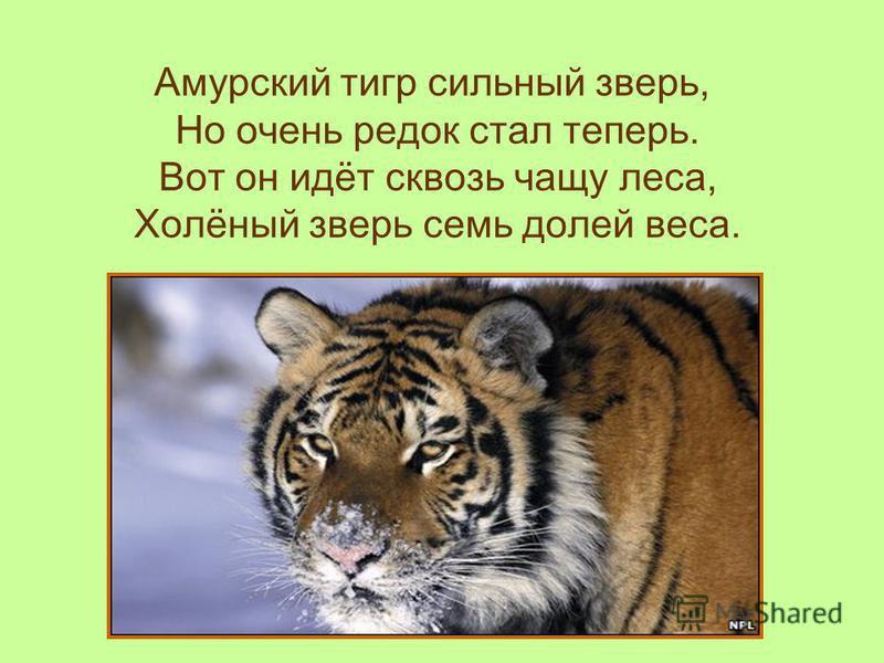 Амурский тигр сильный зверь, Но очень редок стал теперь. Вот он идёт сквозь чащу леса, Холёный зверь семь долей веса.