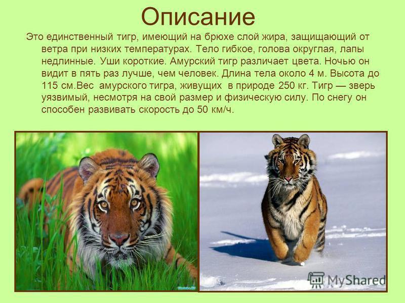 Описание Это единственный тигр, имеющий на брюхе слой жира, защищающий от ветра при низких температурах. Тело гибкое, голова округлая, лапы недлинные. Уши короткие. Амурский тигр различает цвета. Ночью он видит в пять раз лучше, чем человек. Длина те