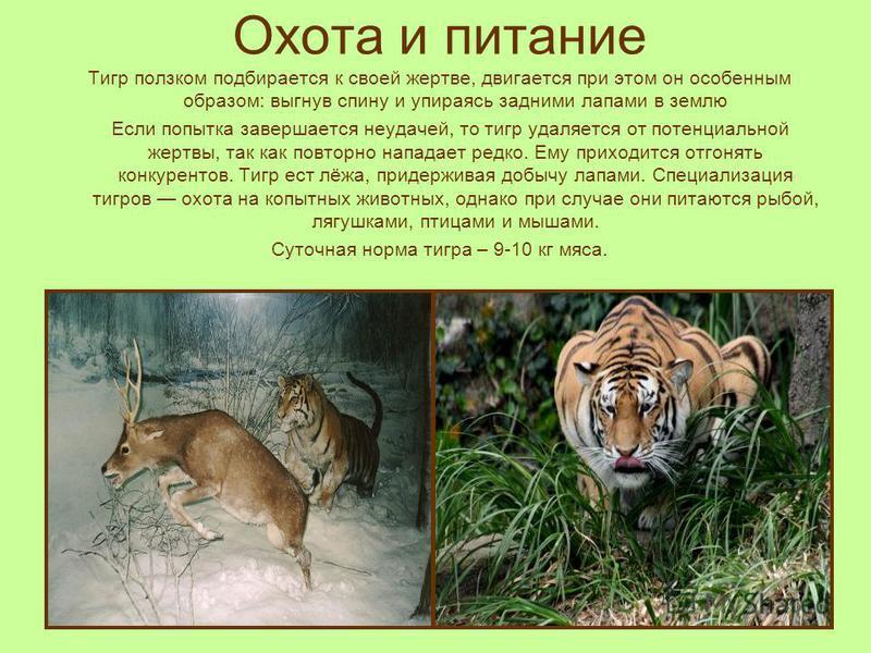 Охота и питание Тигр ползком подбирается к своей жертве, двигается при этом он особенным образом: выгнув спину и упираясь задними лапами в землю Если попытка завершается неудачей, то тигр удаляется от потенциальной жертвы, так как повторно нападает р