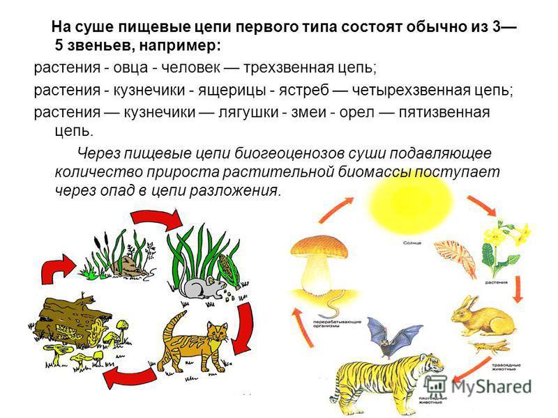 На суше пищевые цепи первого типа состоят обычно из 3 5 звеньев, например: растения - овца - человек трехзвенная цепь; растения - кузнечики - ящерицы - ястреб четырехзвенная цепь; растения кузнечики лягушки - змеи - орел пятизвенная цепь. Через пищев