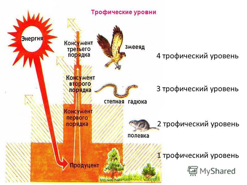 Трофические уровни 1 трофический уровень 2 трофический уровень 3 трофический уровень 4 трофический уровень