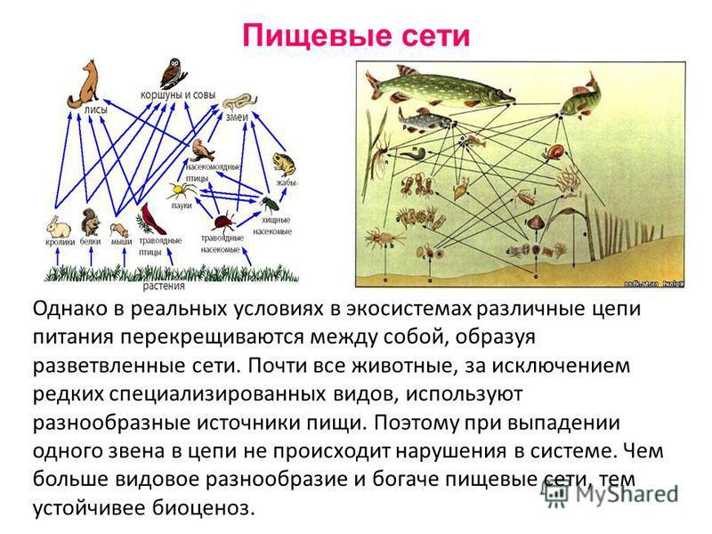 Однако в реальных условиях в экосистемах различные цепи питания перекрещиваются между собой, образуя разветвленные сети. Почти все животные, за исключением редких специализированных видов, используют разнообразные источники пищи. Поэтому при выпадени