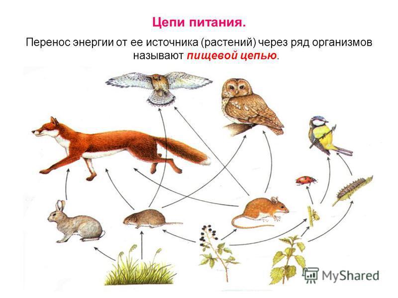 Цепи питания. Перенос энергии от ее источника (растений) через ряд организмов называют пищевой цепью.