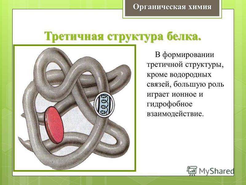 Третичная структура белка. Органическая химия В формировании третичной структуры, кроме водородных связей, большую роль играет ионное и гидрофобное взаимодействие.